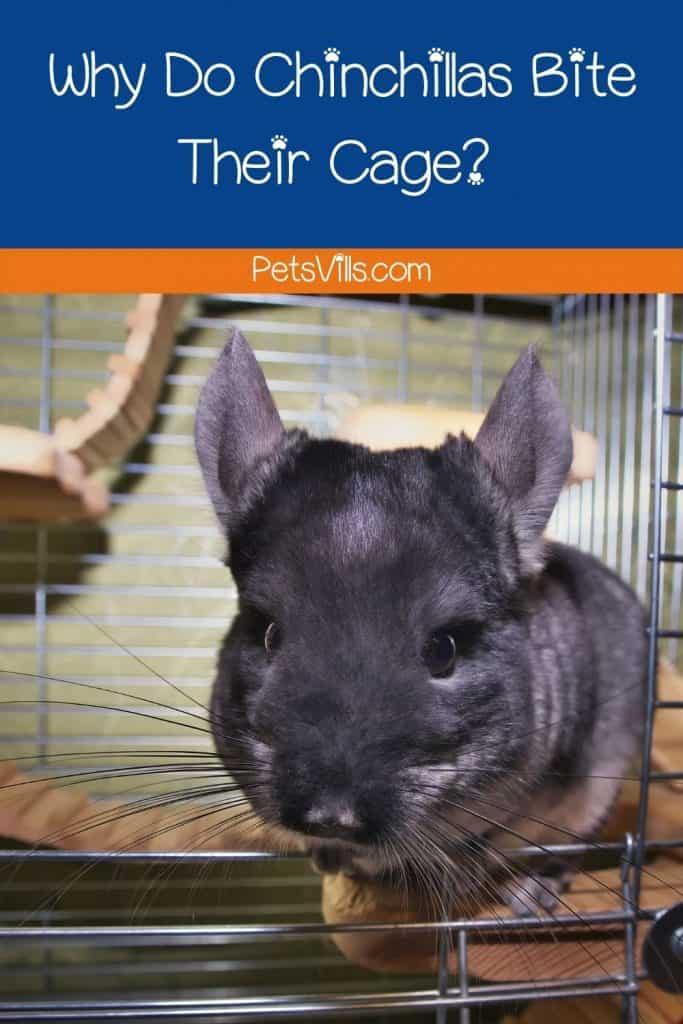 a grey chinchilla biting cage