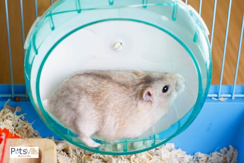 a chubby hamster exercising on his wheels