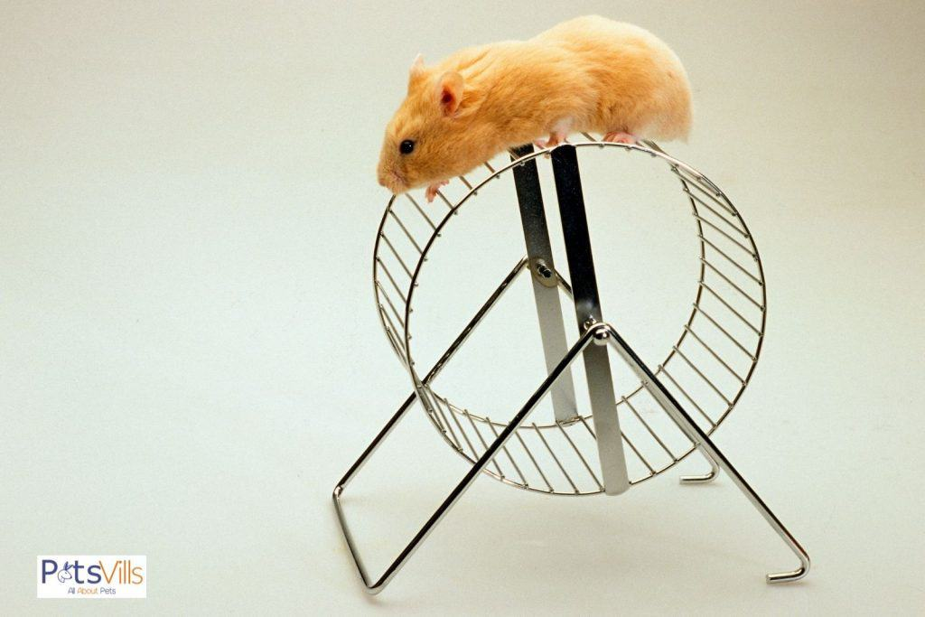 brown hamster on top of his exercise wheels