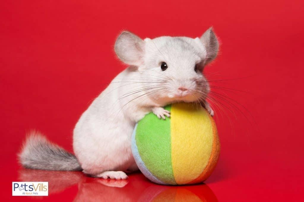 a chinchilla holding a ball