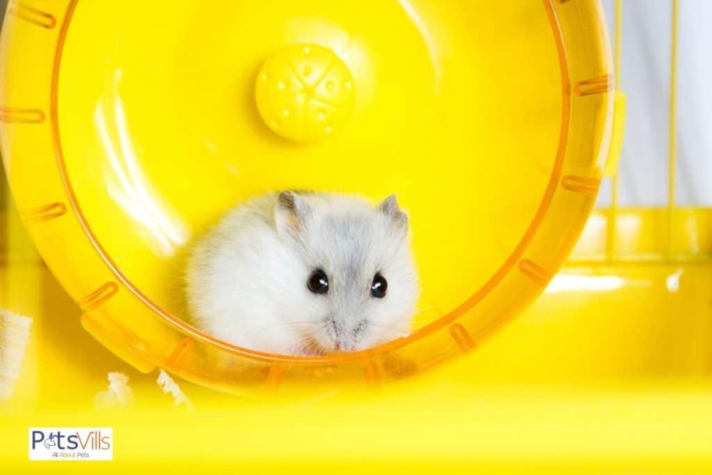 a winter white draft hamster on wheel