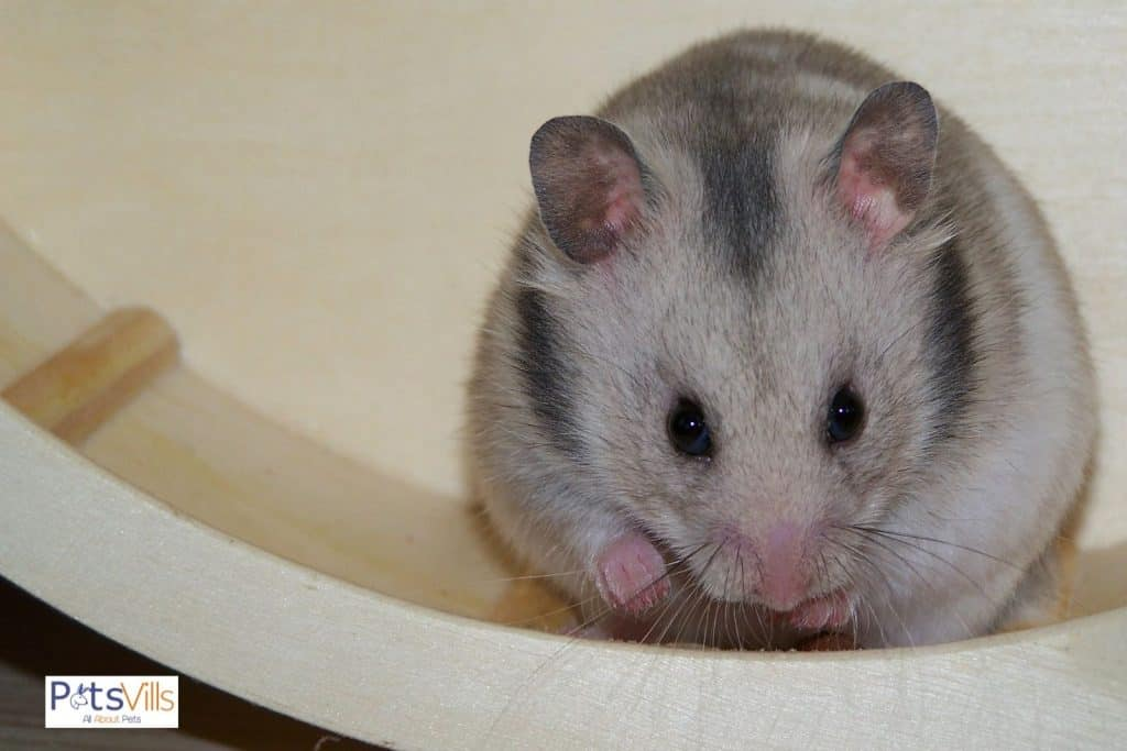 a hamster not suing wheel as it is bored