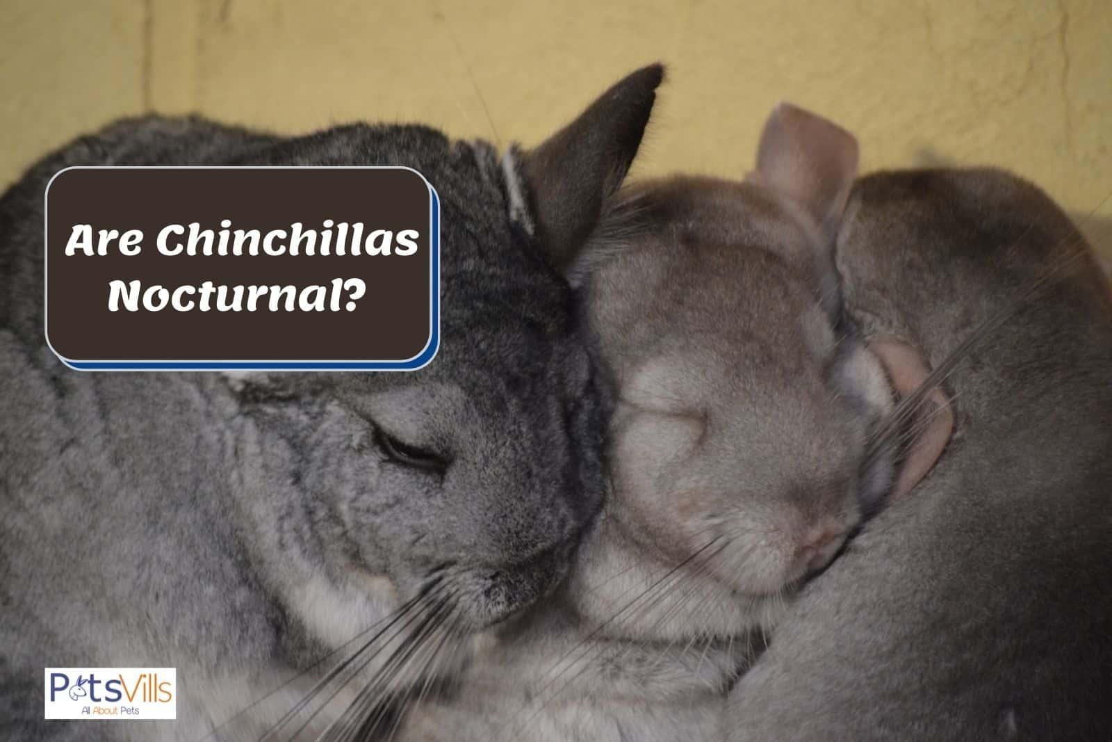 chinchillas sleeping tight: are chinchillas nocturnal?
