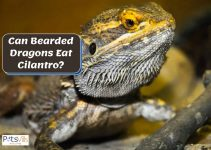 Cilantro for Bearded Dragons: Is it Good or Bad for Them?