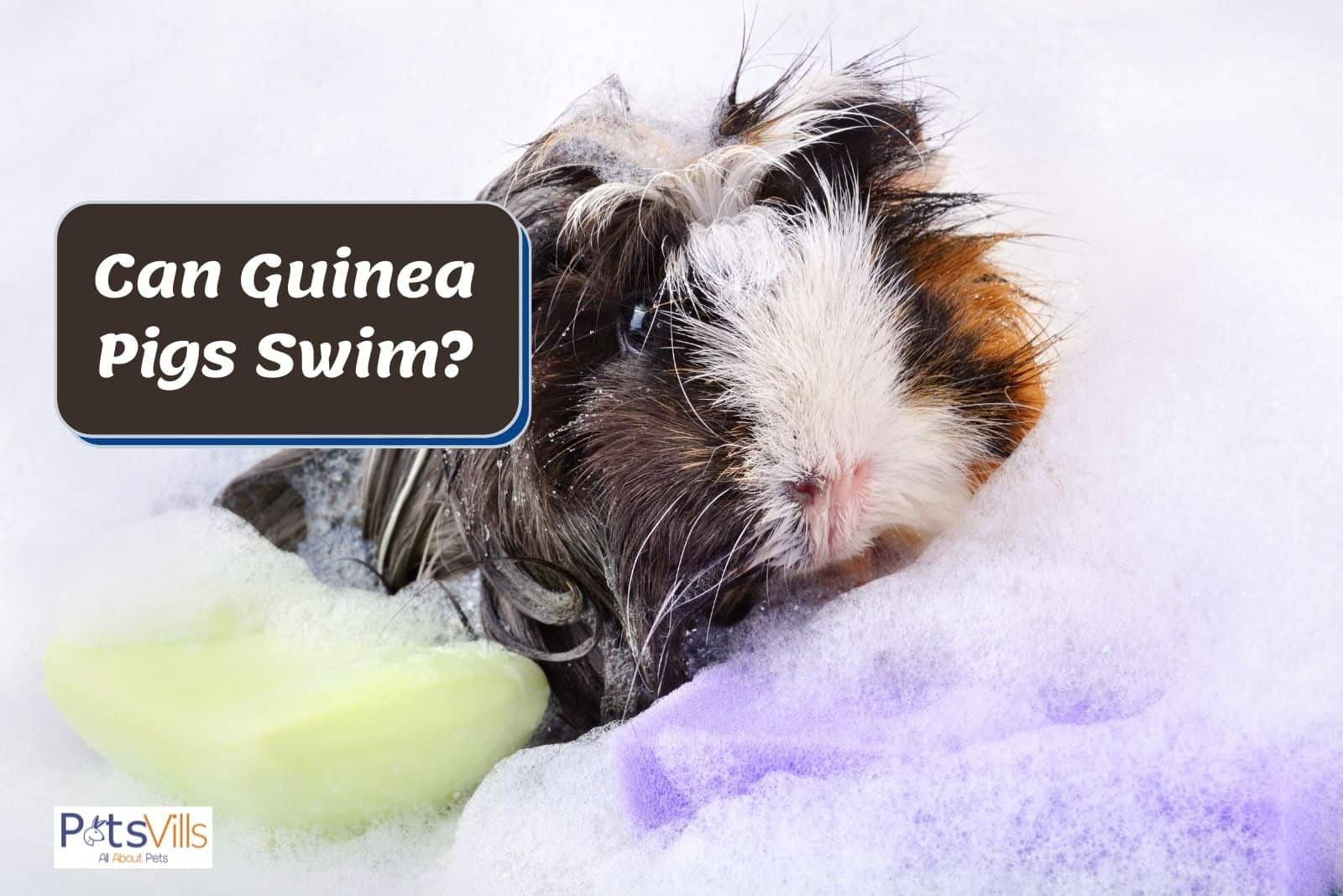 guinea pig surrounded by bubbles and a soap