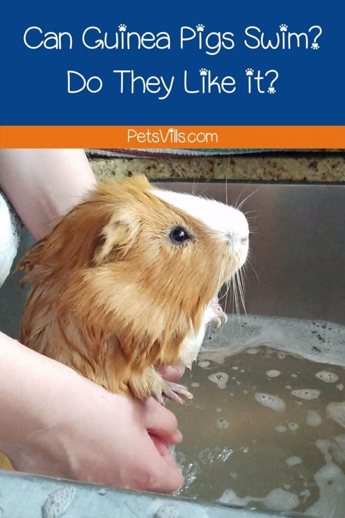 lady bathing her guinea pig