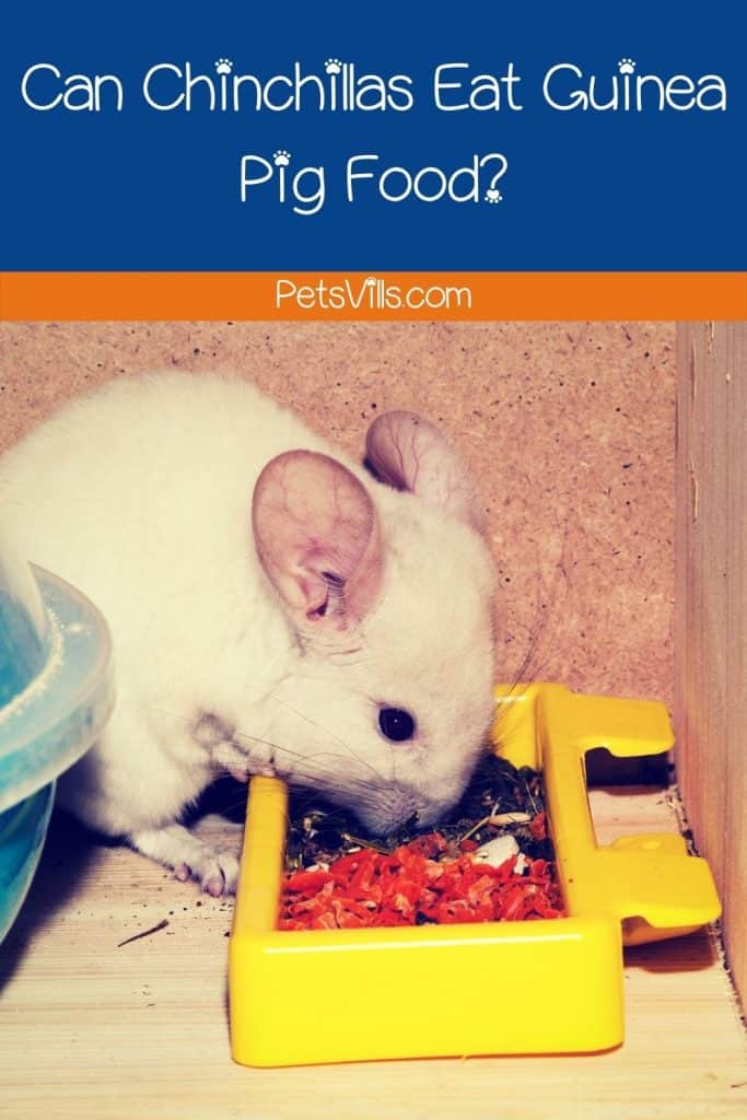 a chinchilla is eating food, do chinchilla like guinea pig foods