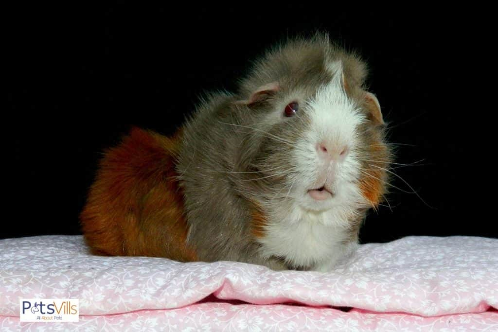 guinea pig sitting on a cozy pink blanket