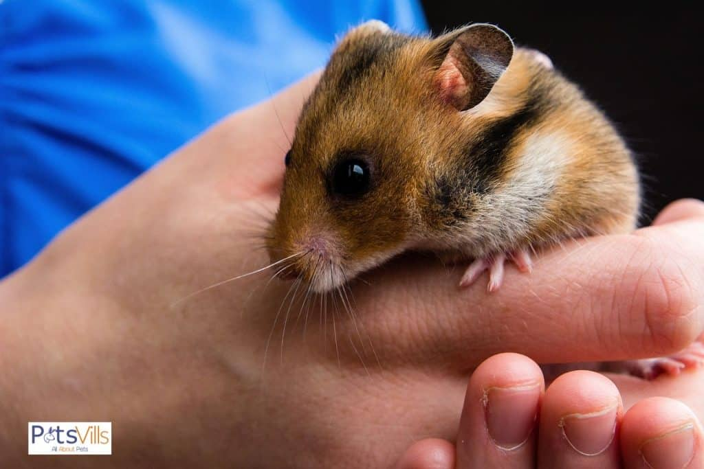 a women warming up hamster to bring it out from hibernating