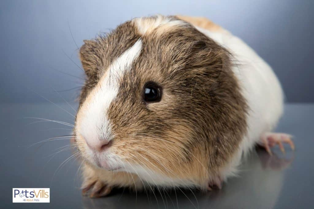 guinea pig on top of a table