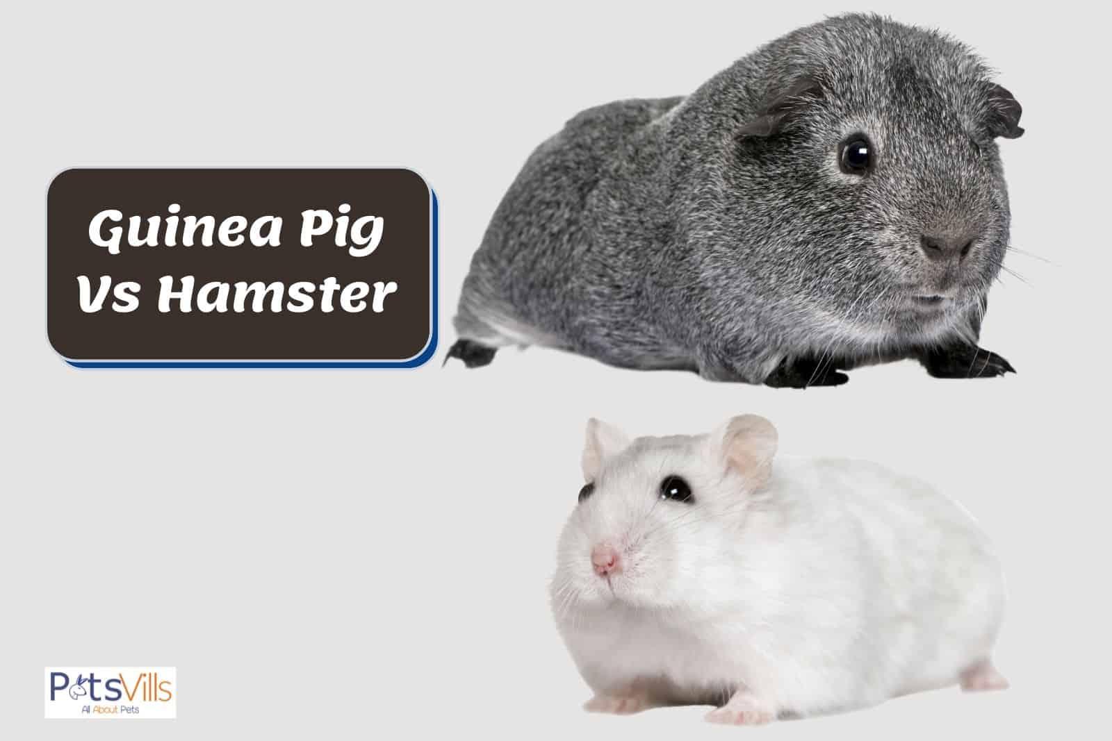 cavy and hamster together: guinea pig vs hamster