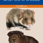 guinea pig and hamster