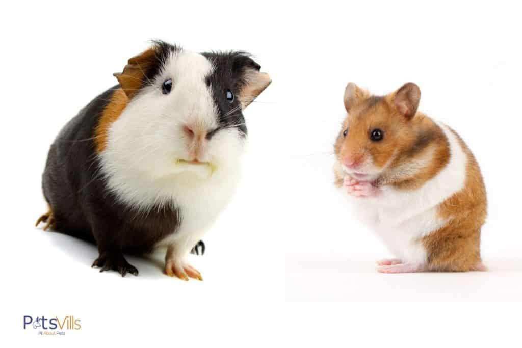 a tri-colored guinea pig and a cute hamster: guinea pig vs hamster