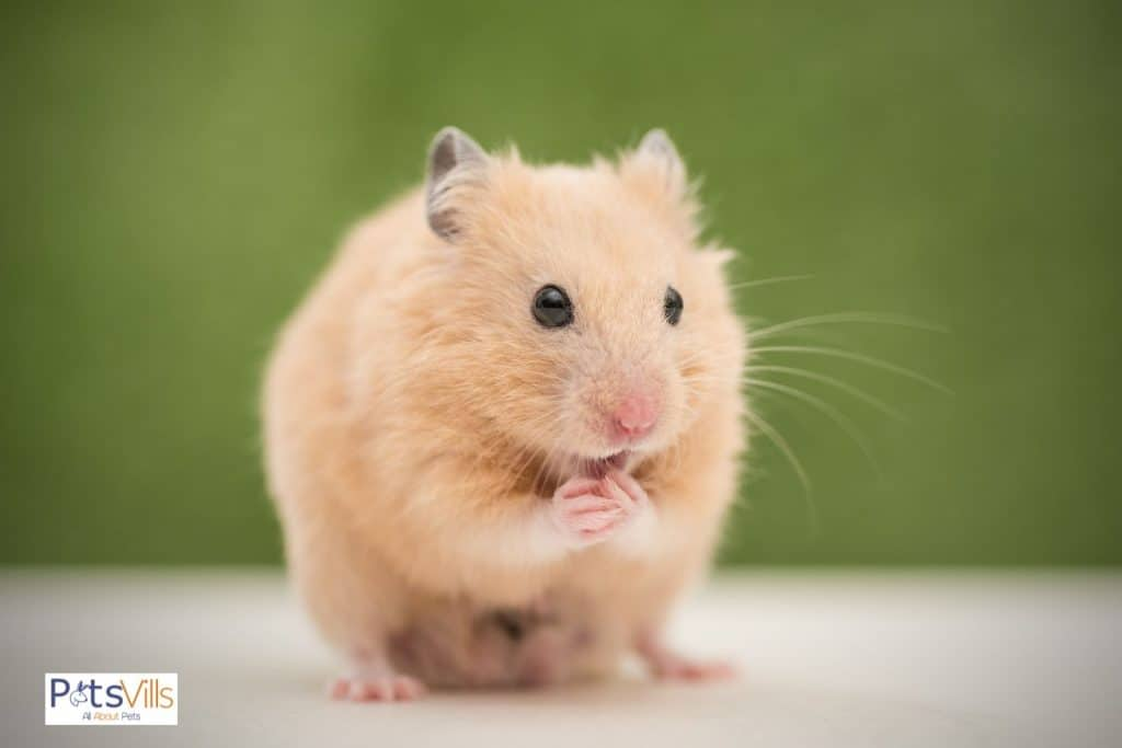 hamster chewing his hands