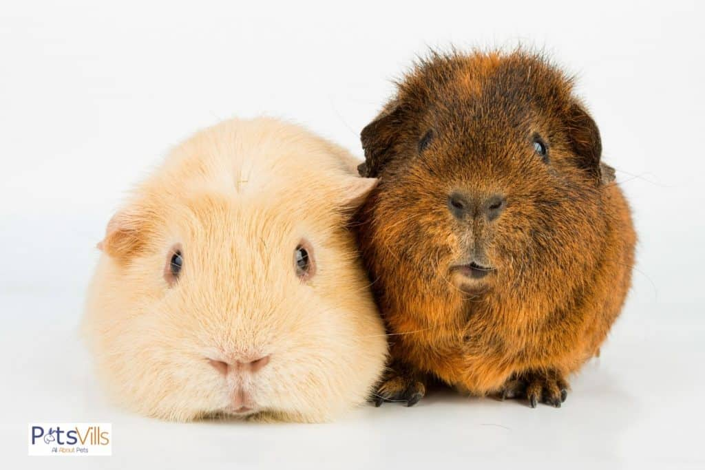 brown and cream guinea pigs cuddling with each other