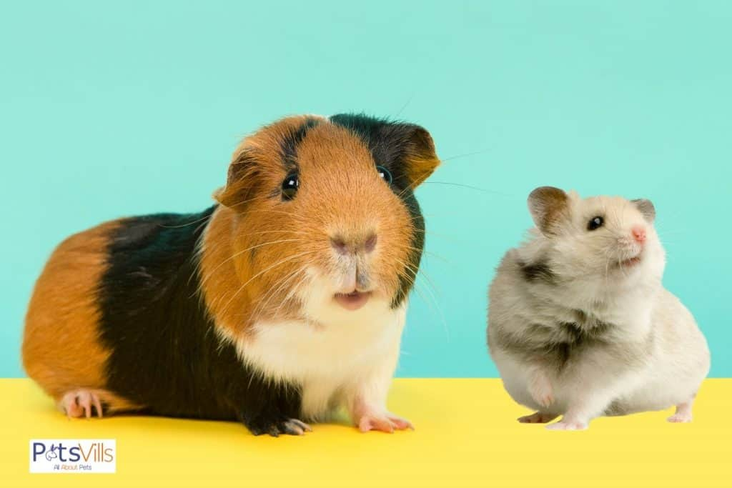 guinea pig and hamster sitting beside each other