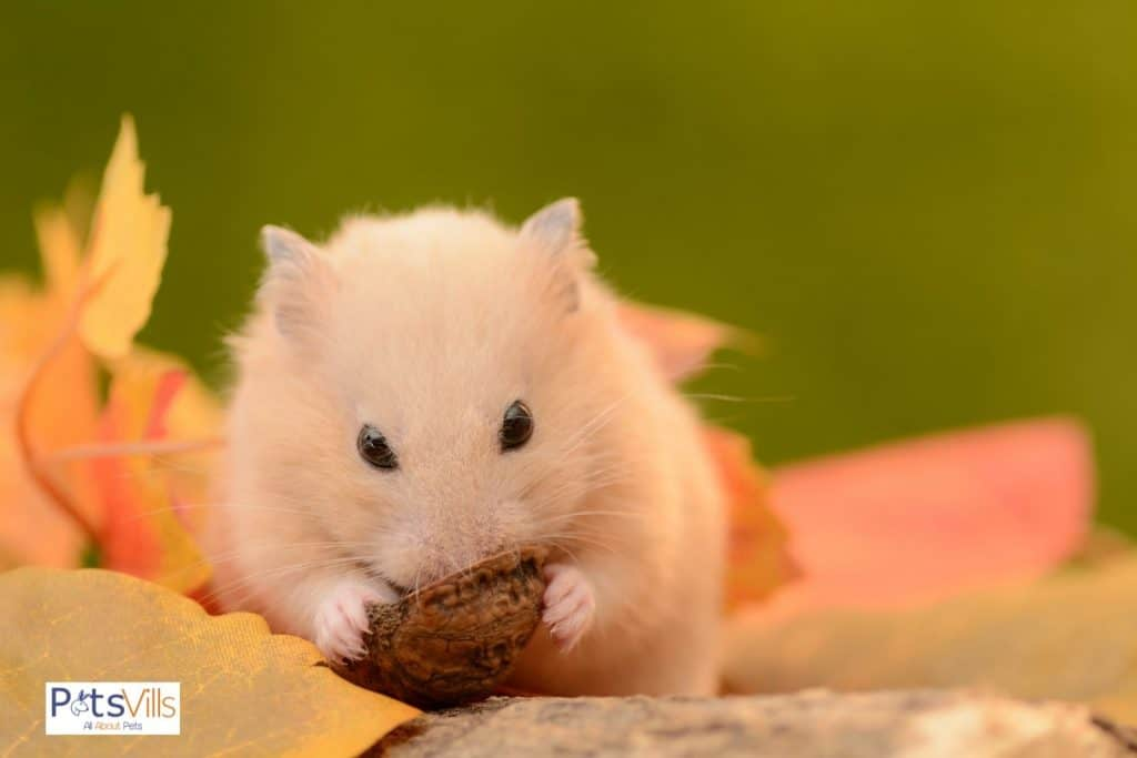 a hamster trying to eat a new food