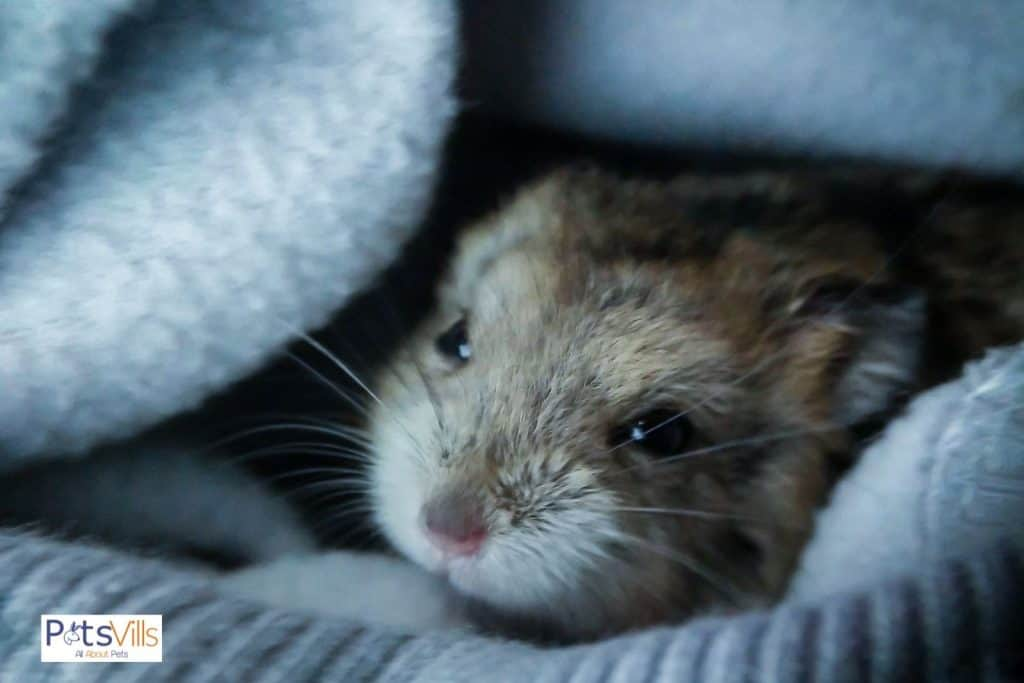 a hamster at temperature that is too cold for him