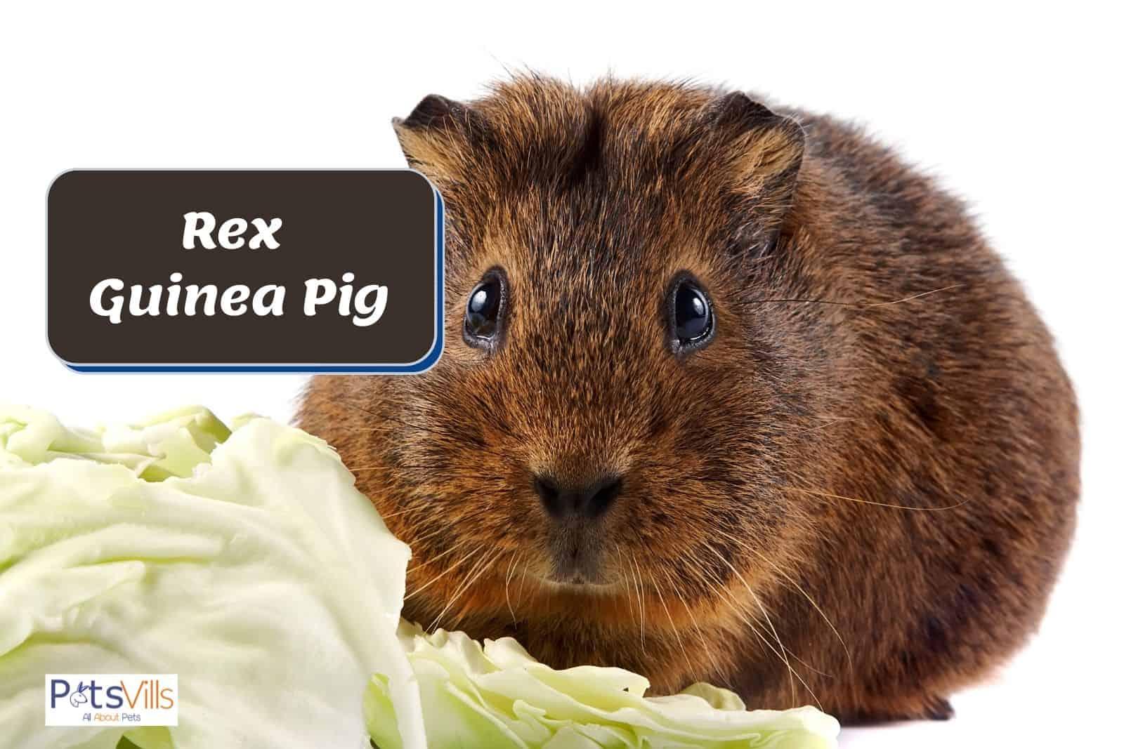 rex guinea pig beside a cabbage