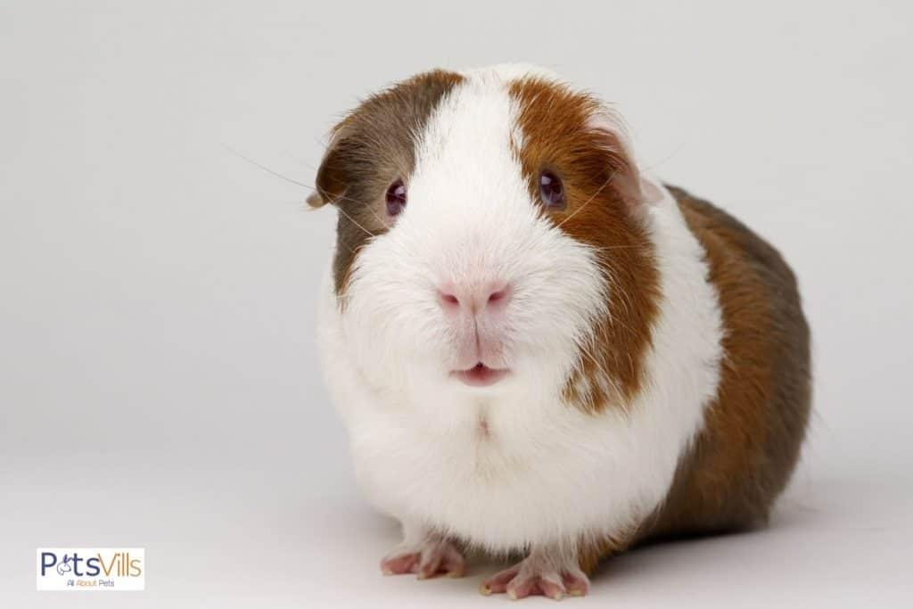 a cute and neat rex guinea pig