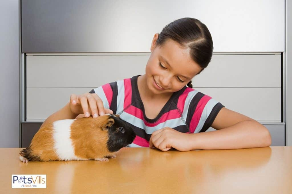 little girl petting Rex guinea pig on top of the table