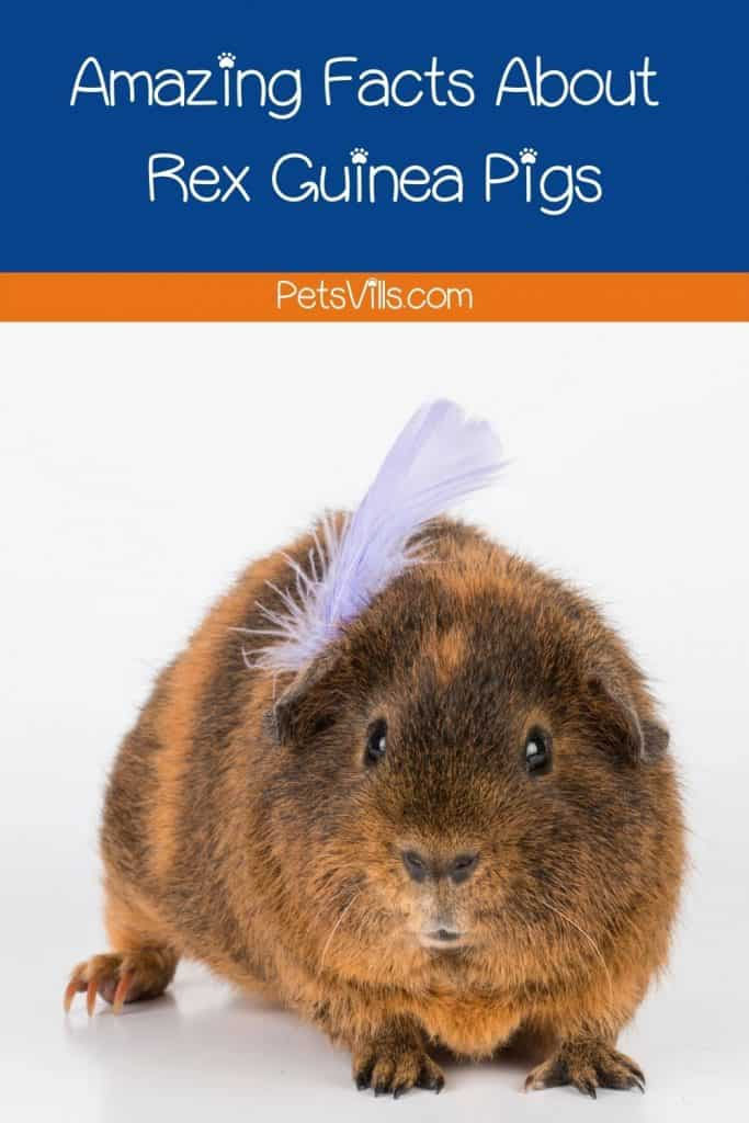 rex guinea pig with a feather on his head