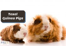 Everything You Need to Know About Texel Guinea Pigs