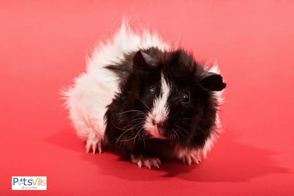a little Texel guinea pig on a pink floor