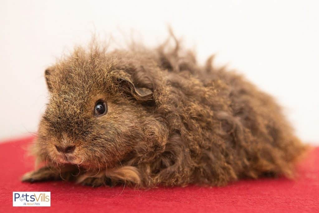 brown Texel guinea pig with curly hair