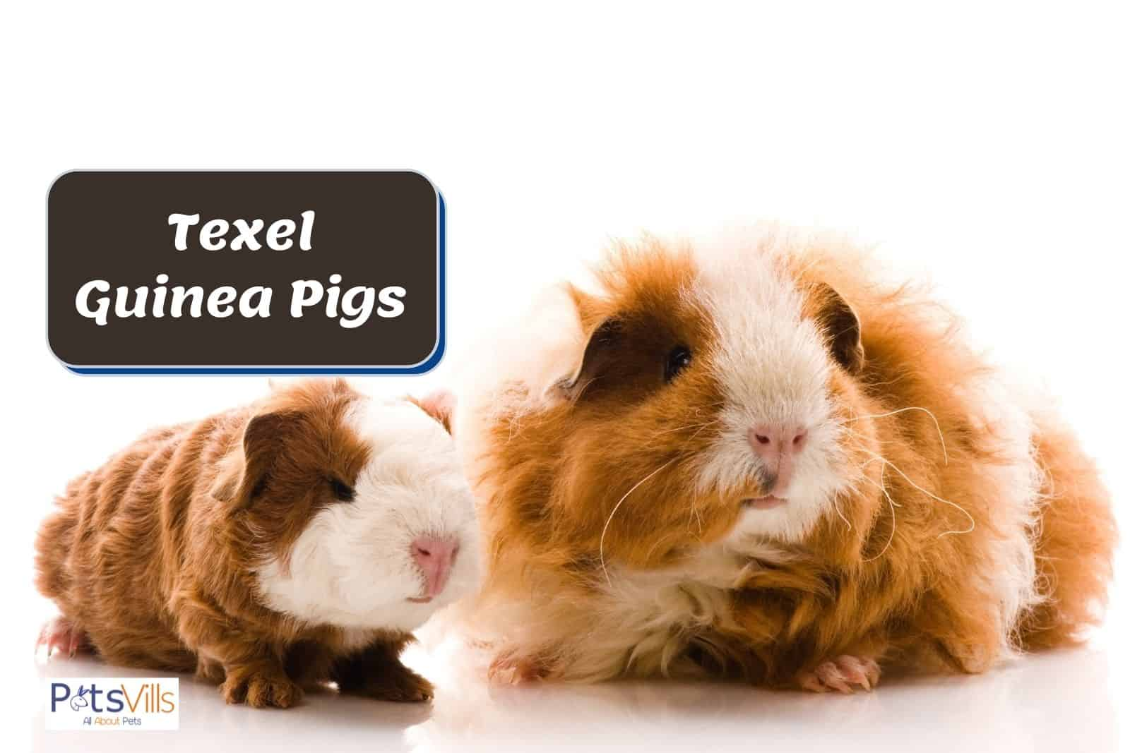 mother and baby texel guinea pigs