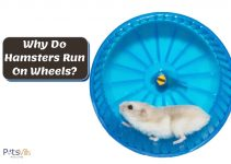 Why Do Hamsters Like to Run On Wheels?