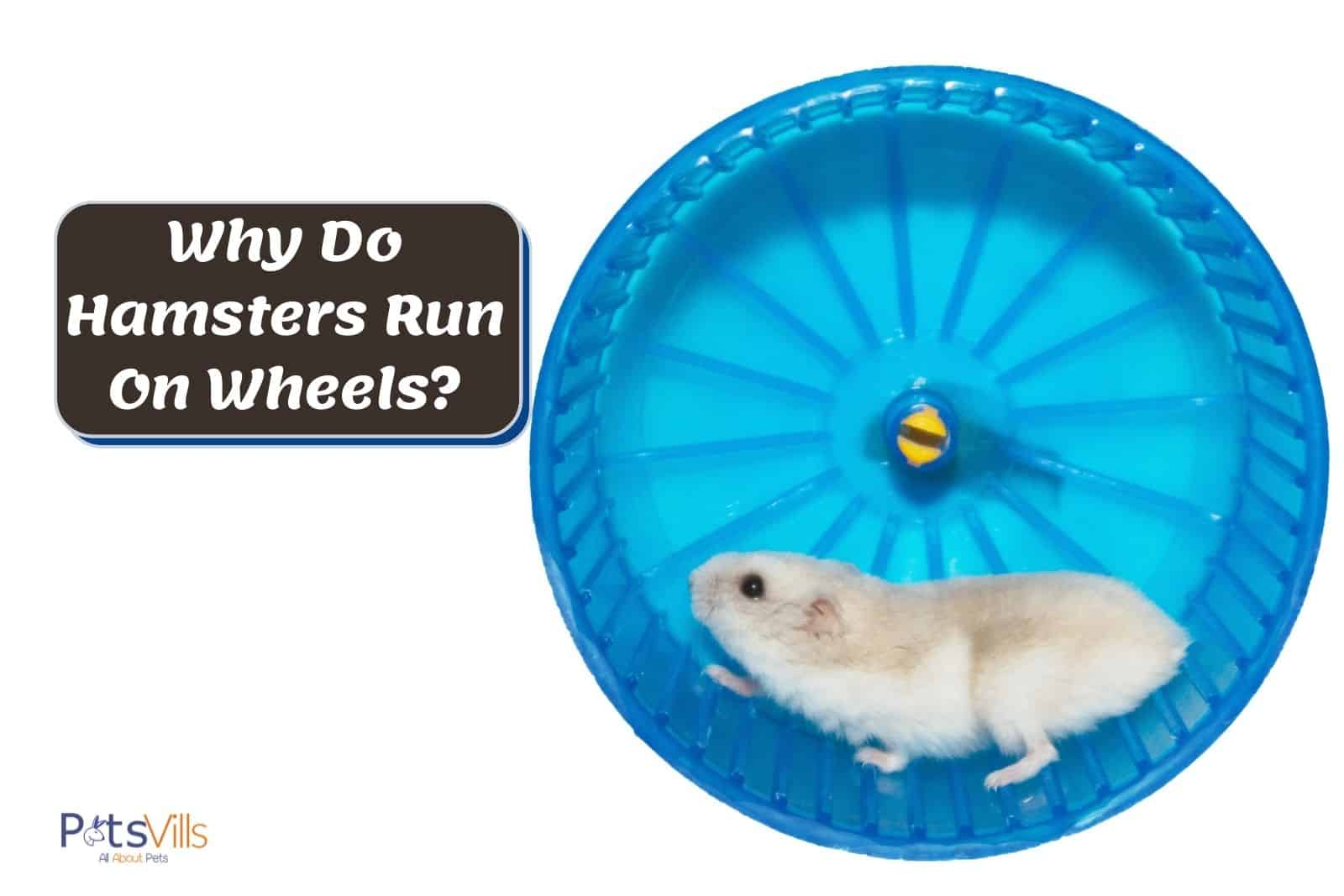 cute hamster running on his blue exercise wheels but why do hamsters run on wheels?
