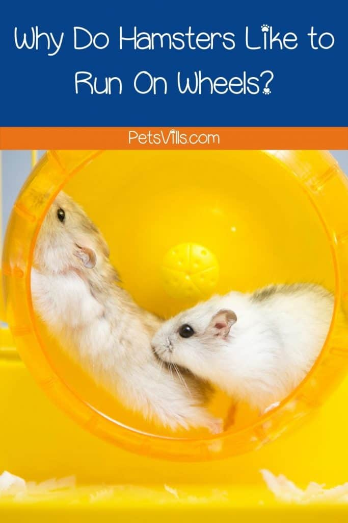 two hamsters running on yellow wheels but why do hamsters run on wheels?