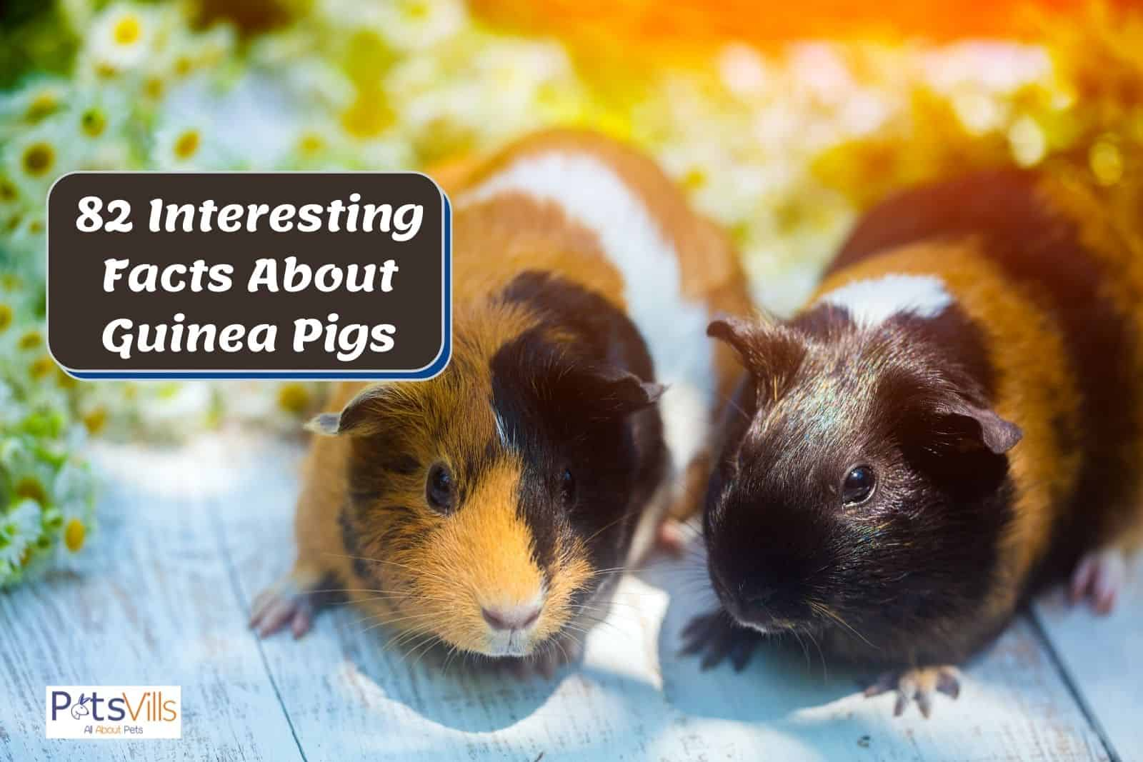 a pair of guinea pigs at park