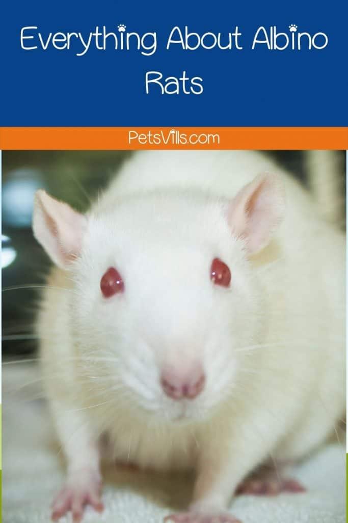 an albino rat