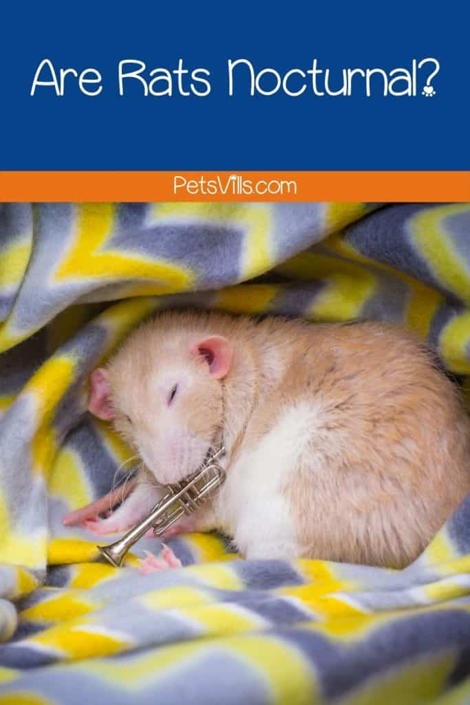 a rat is sleeping on the bad, are rats nocturnal
