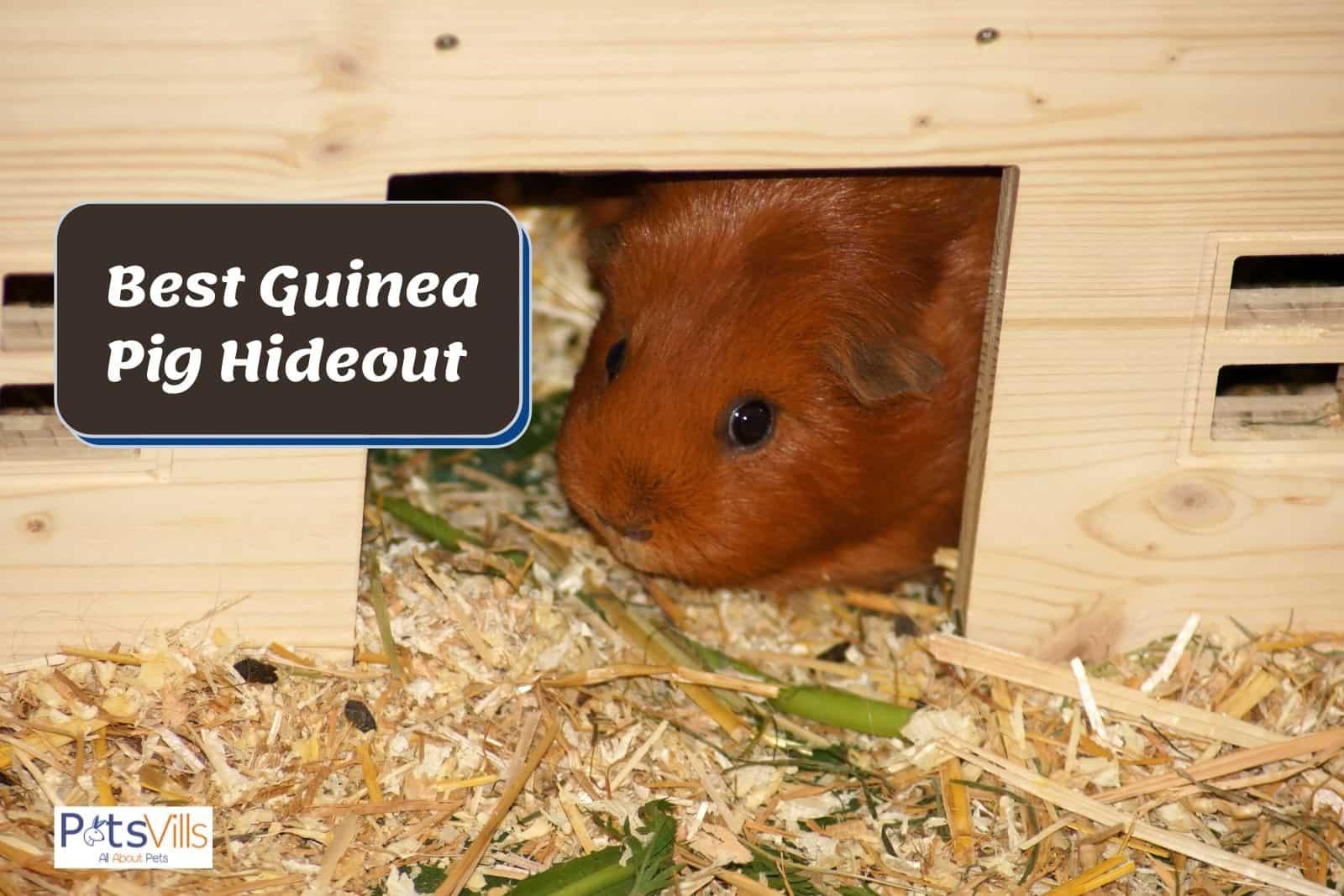 cavy inside his best guinea pig hideout