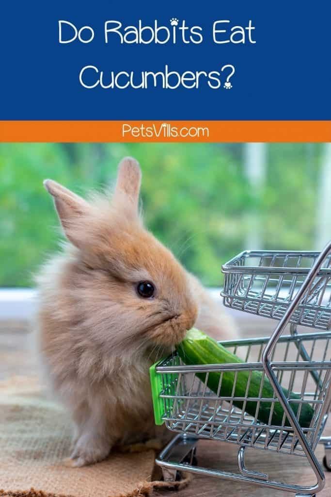 a rabbit trying to eat cucumber, can rabbits eat cucumbers