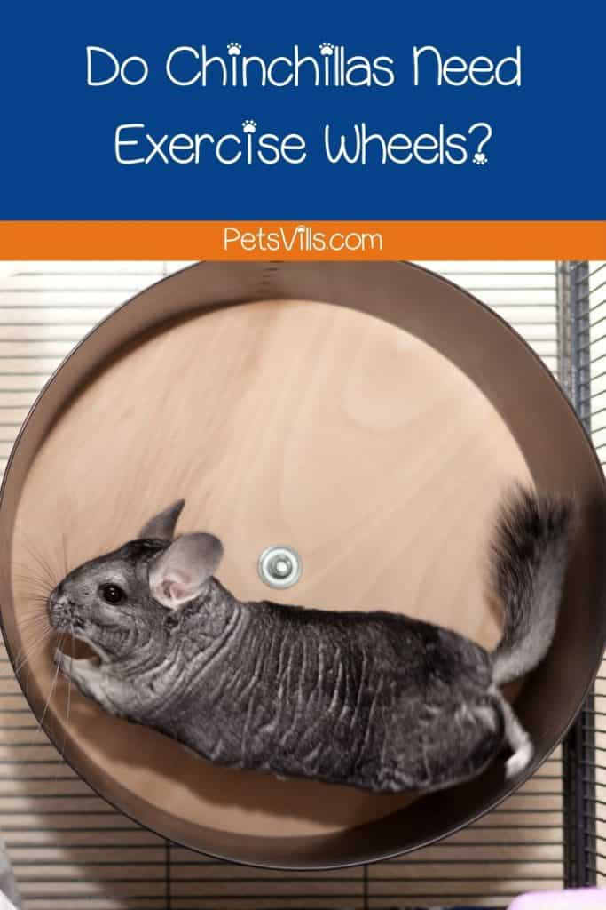 a chinchilla running on exercise wheel