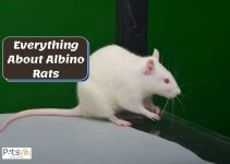 Everything You Need to Know About the Albino Rat
