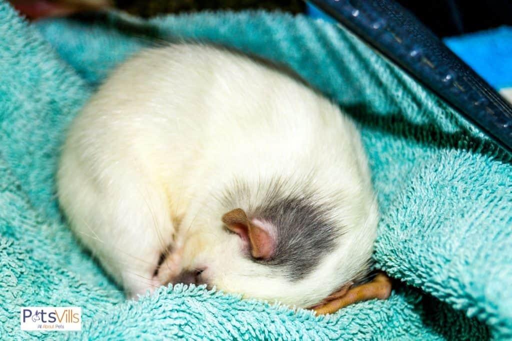 rat sleeping on bed
