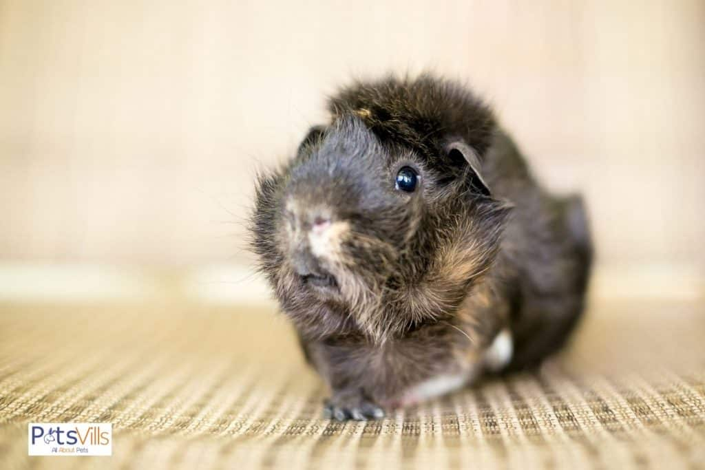 a abyssinian guinea pig.