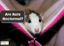 Are Rats Nocturnal? Why Do They Sleep During the Day?