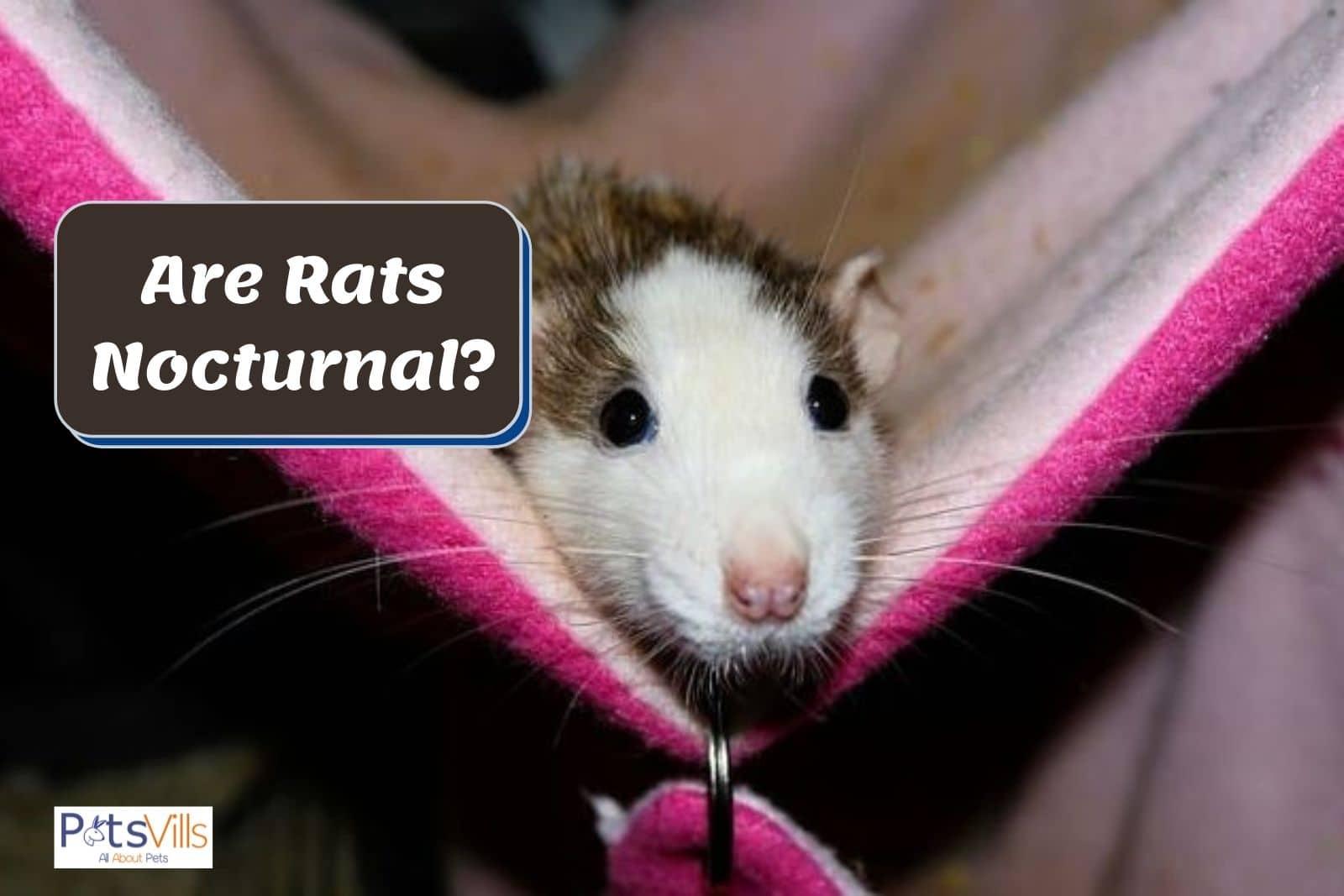 a rat is preparing to sleep