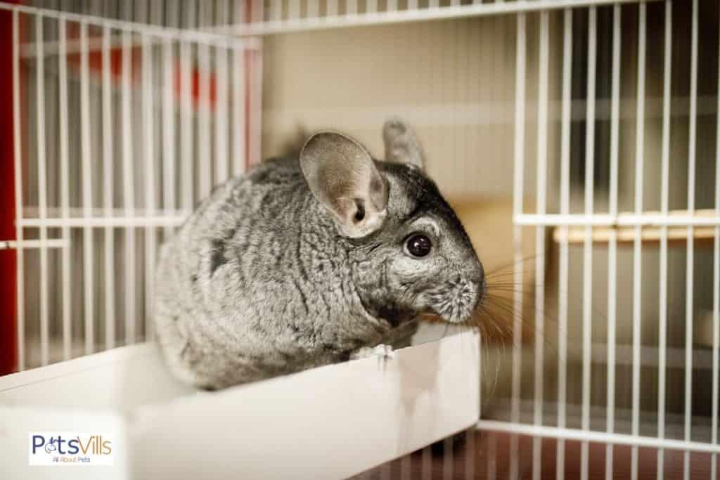 a chinchilla in a cage