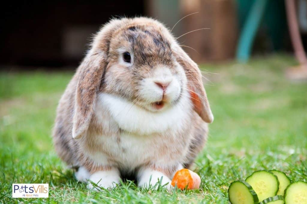 cucumbers in front of rabbit to eat
