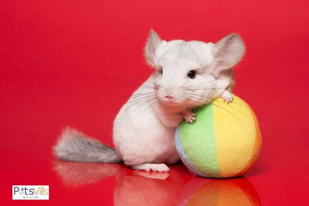 a chinchilla playing with toy