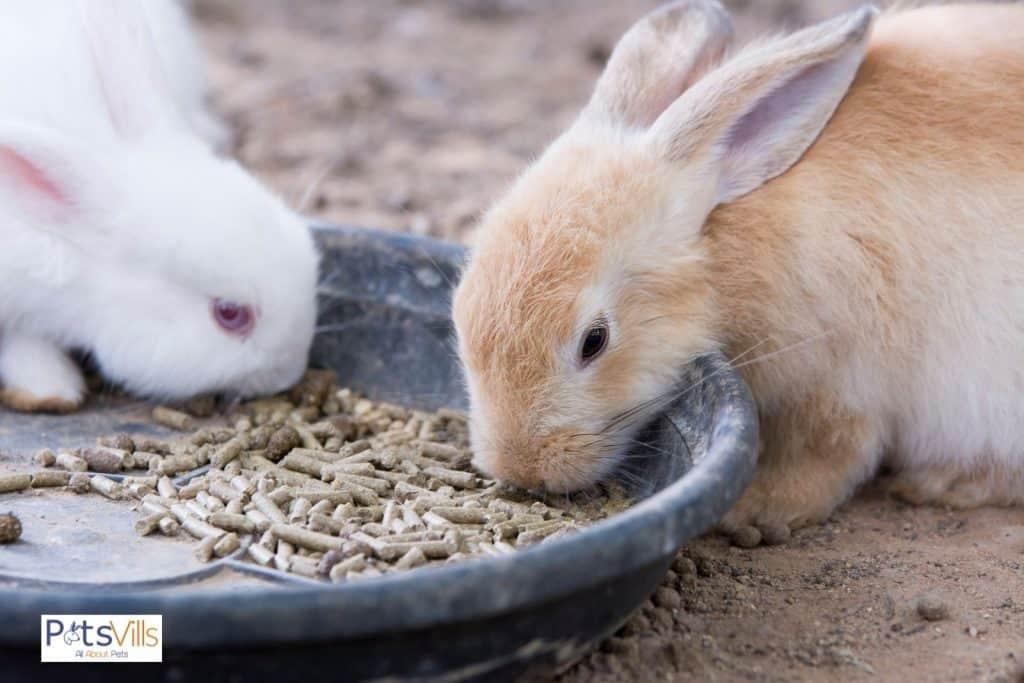 a rabbit eating pellet, can rabbits eat cucumbers