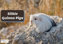 Everything You Need to Know About Silkie Guinea Pigs