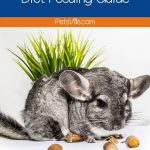 a chinchilla eating food, the chinchilla diet feeding guide